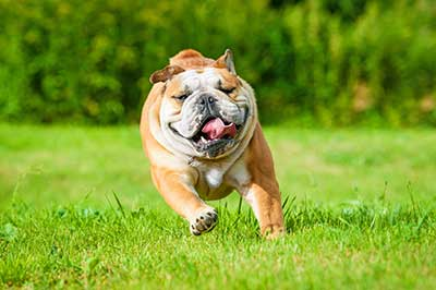 English bulldog running